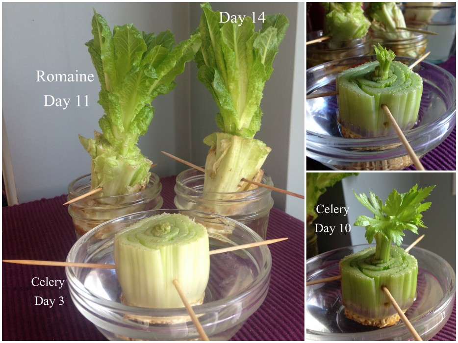 2-Celery-and-Lettuce