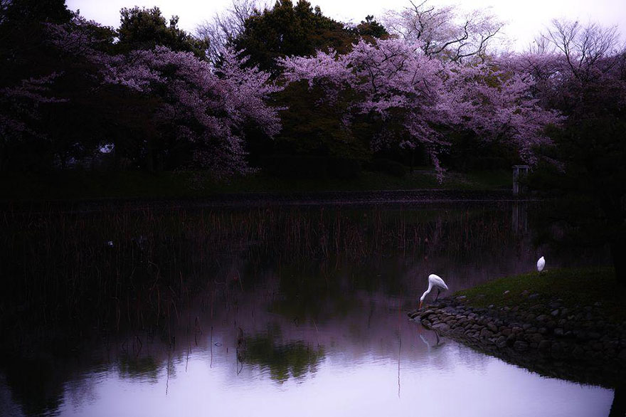 AD-Magical-Pics-Of-Japan's-Cherry-Blossom-By-National-Geographic-07