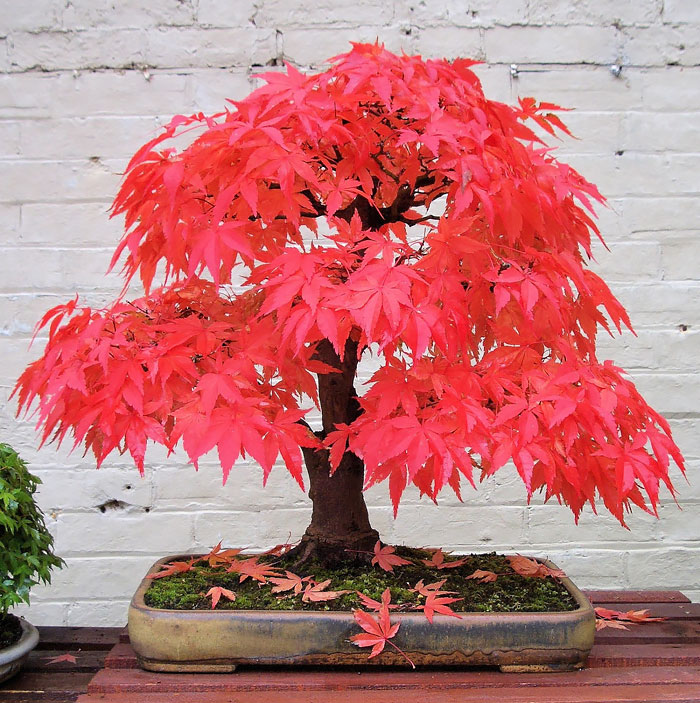 30 Of The Most Beautiful Bonsai Trees Ever