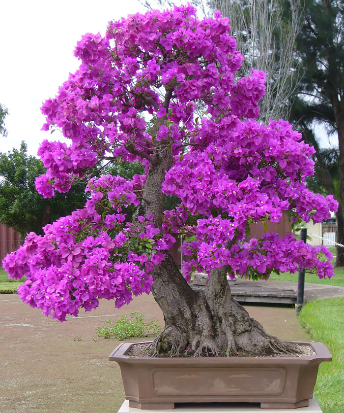 AD-Amazing-Bonsai-Trees-23