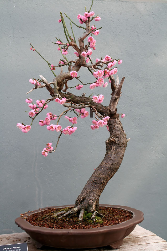 AD-Amazing-Bonsai-Trees-25