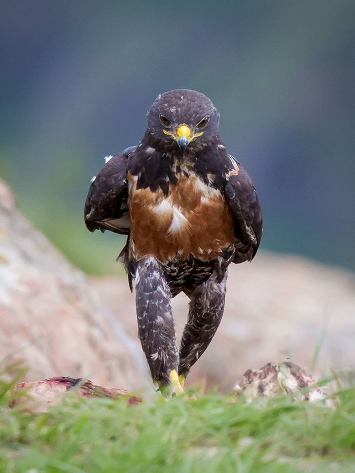 AD-Funny-Hawk-Photoshop-Battle-00